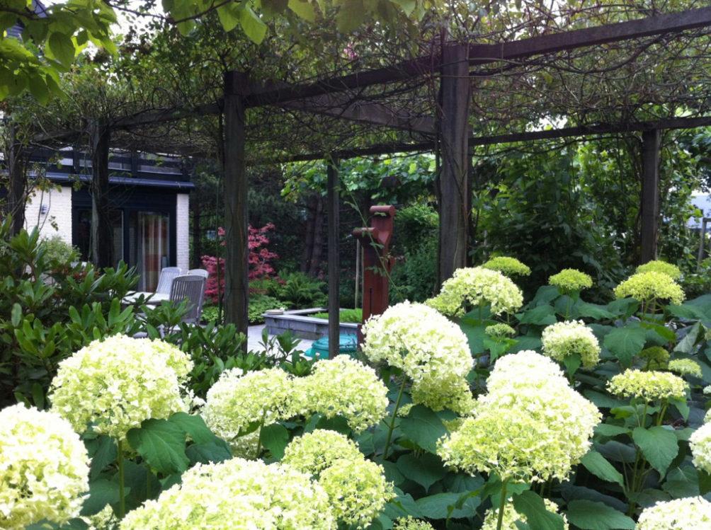 Bloeiende hortensia's in privé  tuin in Wateringen