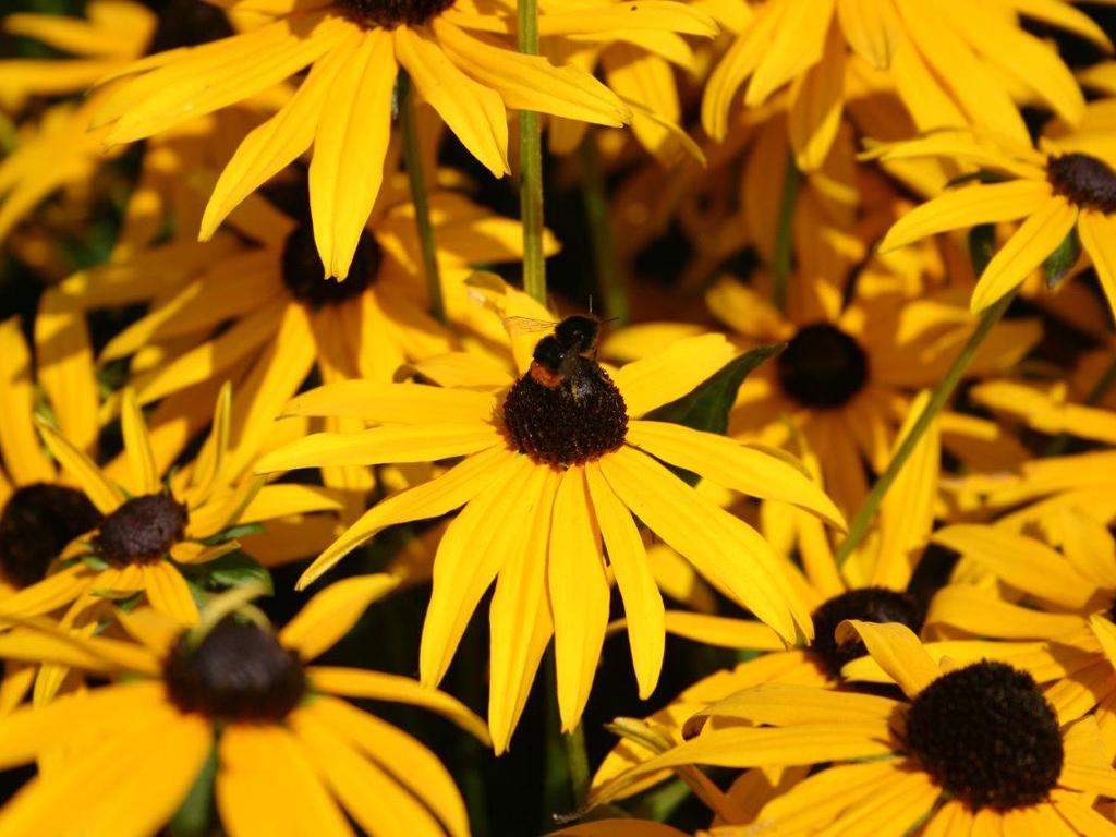Rudbeckia's zijn erg geliefd bij solitair levende bijen en Hommels